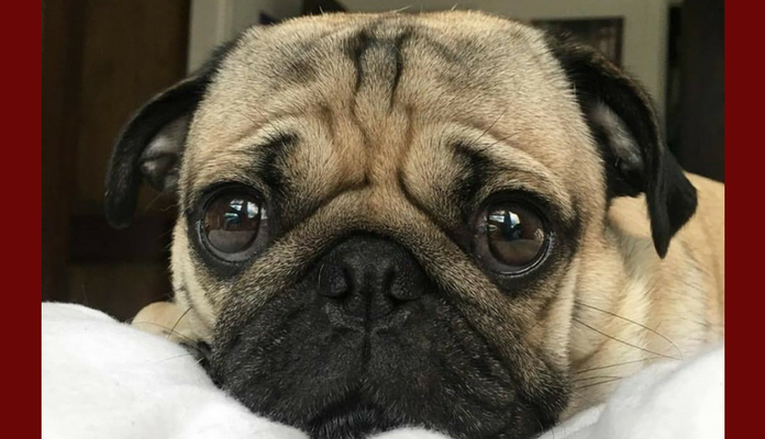 O olhar arrependido que o seu cachorro faz não tem nada a ver com culpa