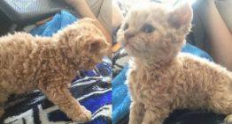 Conheçam a raça do gato que ganhou o coração da internet essa semana