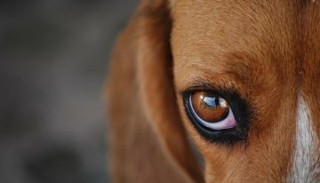 6 raças de cães que possuem mais tendência à obesidade