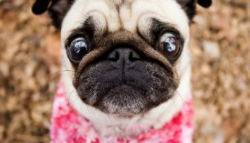 Como evitar as doenças oftalmológicas mais comuns em cães