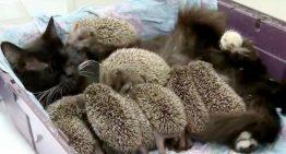 Gato se torna nova mãe adotiva de 8 ouriços órfãos
