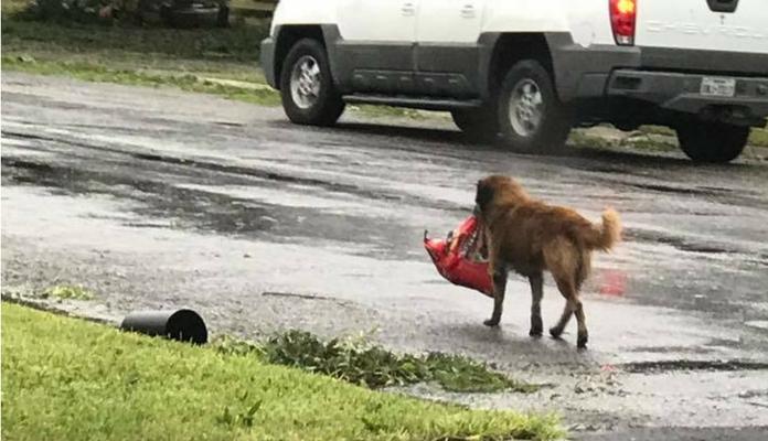 Cachorro carrega saco de ração na boca após furacão Harvey