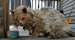 Gato resgatado tem transformação incrível e logo foi adotado