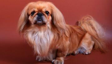 Ranking das 10 raças dos cachorros menos inteligentes do mundo