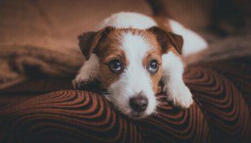Cães podem se lembrar das ações dos tutores, diz pesquisadores