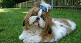 9 raças de cães mais visadas por criminosos