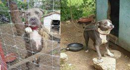 2 pitbulls viviam acorrentados por 3 anos – veja a reação quando foram salvos