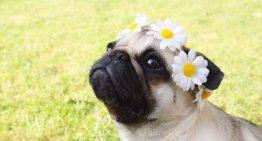 17 coisas que todos os donos de Pug nunca devem esquecer