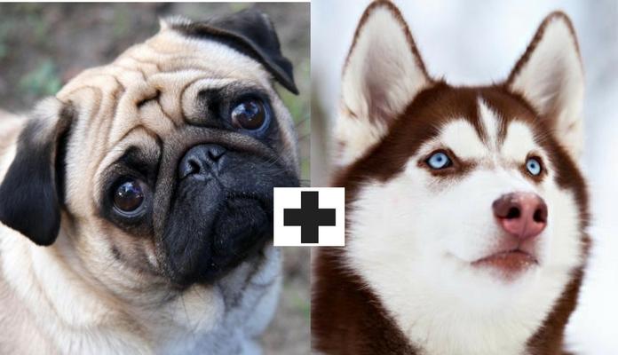 Veja o que acontece quando você cruza Pug com outras raças de cães