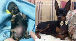 O cãozinho que foi mutilado p/ ser vendido como fêmea | Veja como ele está hoje