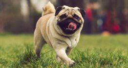10 raças de cachorros que vivem mais tempo – Portal dos Cães e Gatos