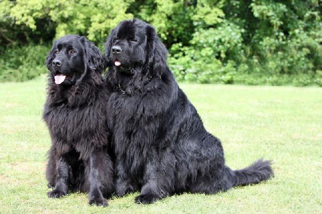raças de cães mais caras