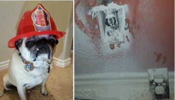 Herói: Pug salva tutores de incêndio e ganha medalha do corpo de bombeiros