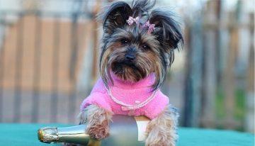 Cães precisam usar roupas: sim ou não? | Portal dos Cães e Gatos