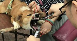 Falso veterinário realizava cirurgia de retirada de cordas vocais em cães sem anestesia