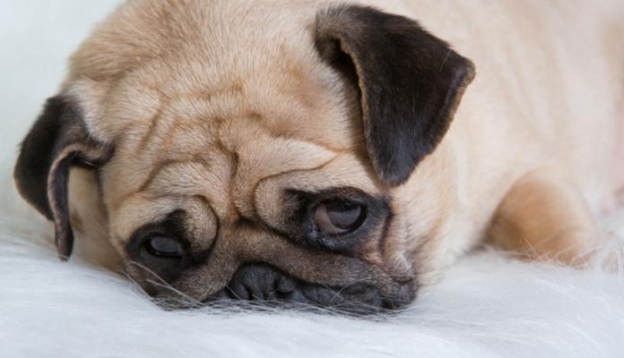 Cientista detalha o que se passa na cabeça do cão após a separação dos donos