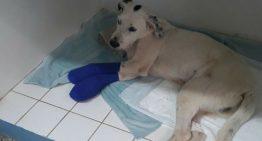Cão tem almofada das patas arrancadas após escapar de casa