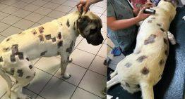 Tutora encontra cão com ferimentos parecidos com picadas de insetos, mas na verdade são marcas de balas