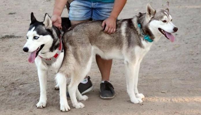 Huskies foram abandonados em parque com todos os seus brinquedos e uma carta muito triste