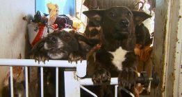 Dona de casa implora ajuda para cuidar dos 65 cães resgatados das ruas