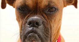 Estudo monstra que cachorros também sentem ciúmes