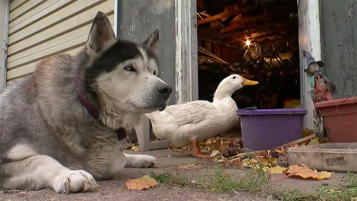 cachorro e um pato
