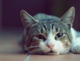 Como saber se o gato está com dor? – Veja 10 sinais