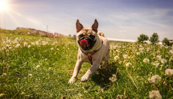 Você quer que seu Pug seja feliz e saudável? Veja 7 maneiras