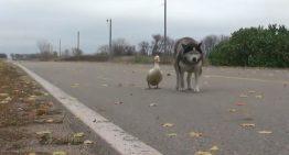 A improvável amizade entre um cachorro e um pato