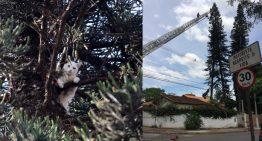 Bombeiros resgatam gato em árvore de 50 metros de altura