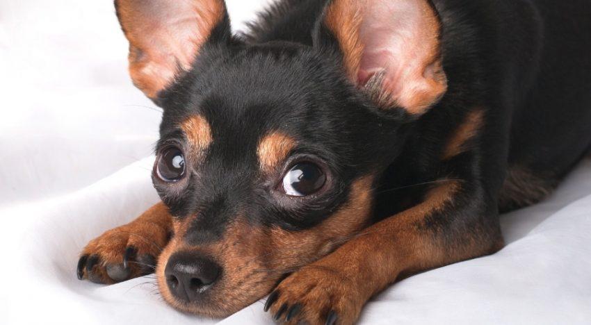 Cachorro se assusta com fogos de artifício e se joga do 11º andar