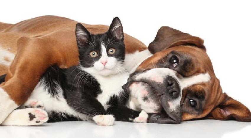 Piometra: o que é e como evitar em gatas e cadelas