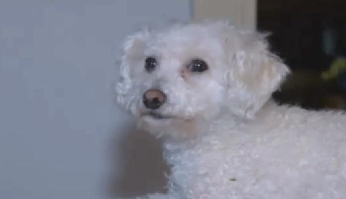 Águia leva cachorro em passeio aéreo e ele volta ileso para casa