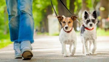 """Seu cãozinho puxa muito a coleira? Saiba como ensinar o comando """"junto"""""""