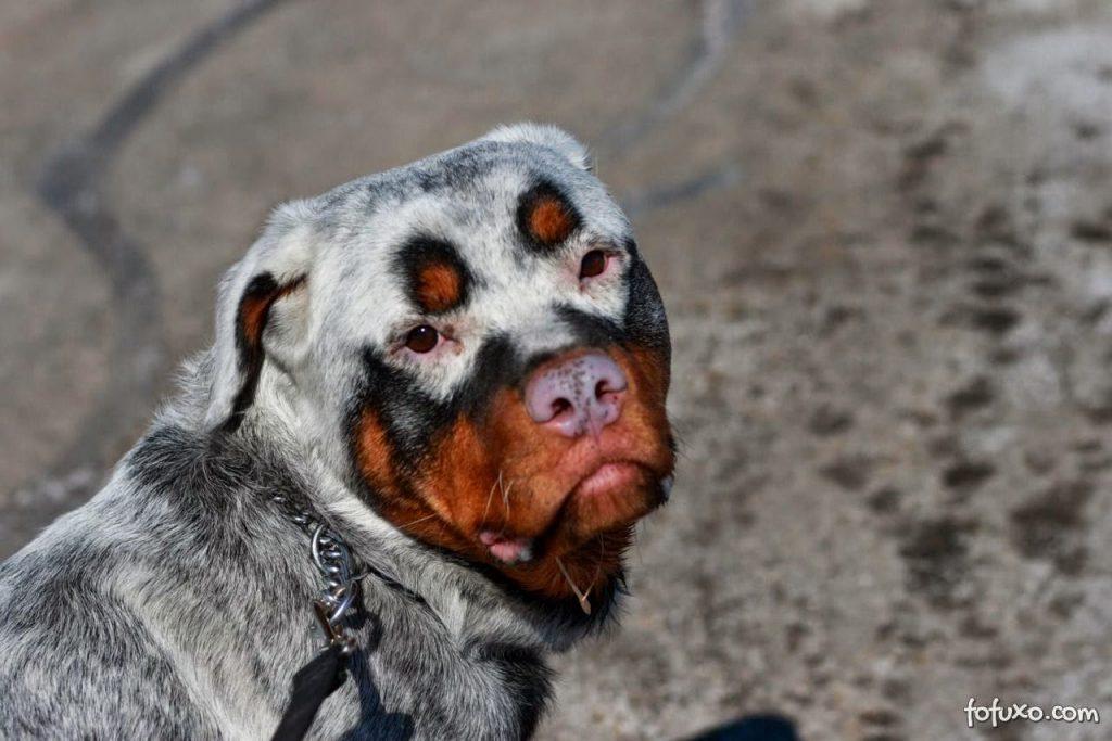 Vitiligo em cães