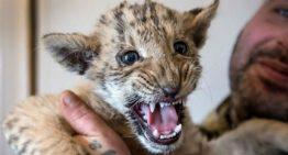 Ligre: bebê híbrido de leão e tigre, nasce na Rússia