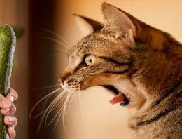 Por que Gato tem medo de pepino? Essa brincadeira é saudável?