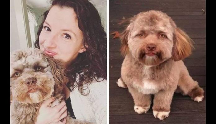 Cachorro Yogi (raça Shih-poo), tem 'cara de gente' e faz sucesso na web!