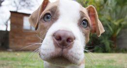 Raças de cães não reconhecidas pela Federação Cinológica Internacional