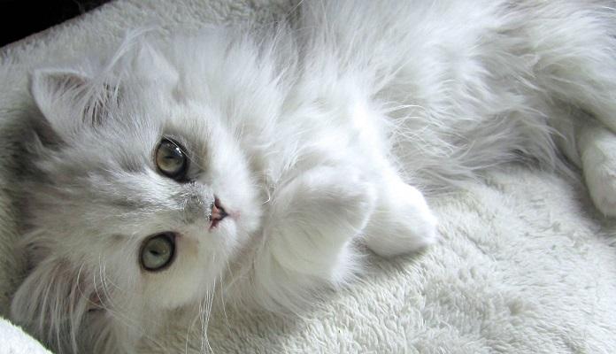 Munchkin – a raça de gatos que nunca cresce! Saiba tudo sobre o bichano