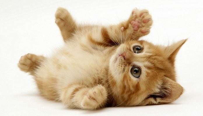 Como adotar um Gatinho – saiba como funciona a adoção