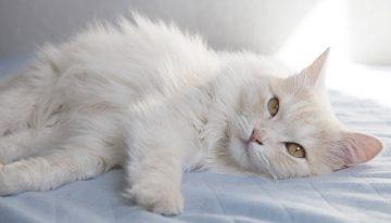 Quais são as raças de gatos peludos mais lindos do mundo?