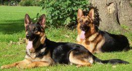 Saiba quais são as 10 melhores raças de cães de guarda