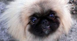 Conheça 8 raças de cachorros fofos e pequenos que você vai amar!
