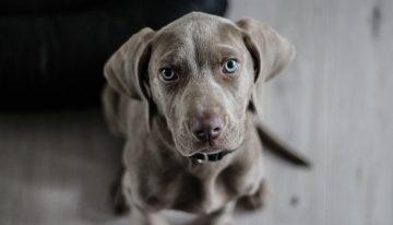 Como os cachorros enxergam os seus donos, as cores e o mundo