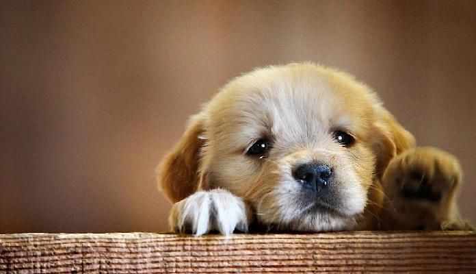 Filhotes de Cachorros: dicas para papais e mamães de primeira viagem