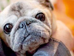 Como saber a idade do cachorro (a maneira mais utilizada é pelos dentes)