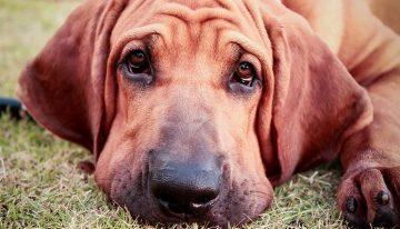 Saiba quais são as raças brasileiras mais famosas de cachorros