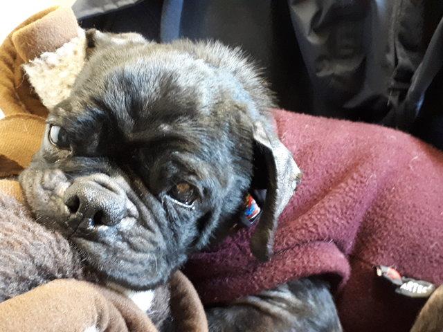 Vítima da maldade humana, Peggy era usada como matriz em criadouro de cães de raças.