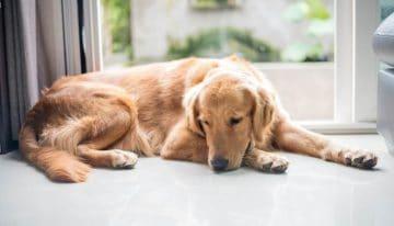 Você sabia que cachorro pode ter depressão? Entenda